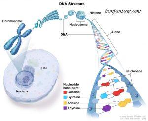 آسیب به DNA وپیری سلول ها