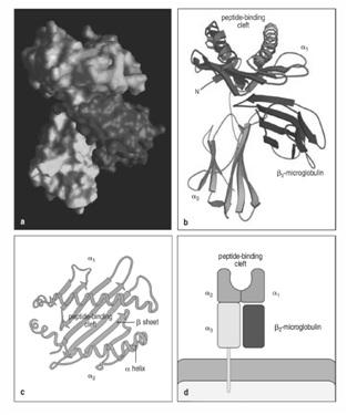 ساختار مولکول mhc